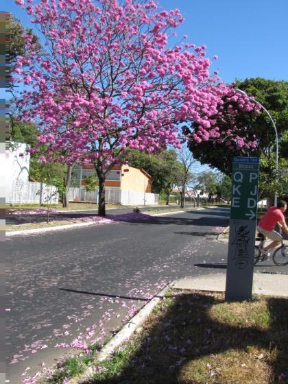 ipê rosa em Brasília (DF)