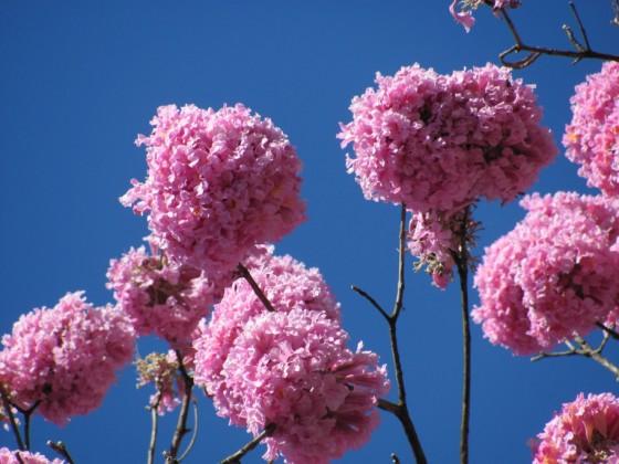 flores-bola do ipê-bola